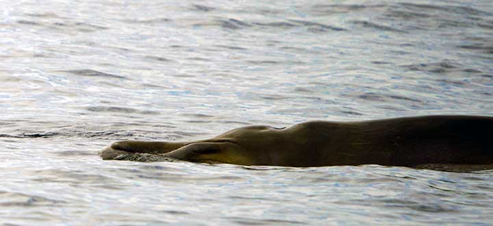 Information on the Blainville's Beaked whale species seen on Tenerife whale and dolphin watching tours.