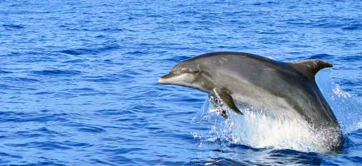 information on the resident pods of Bottlenose dolphins in Tenerife Canary Islands