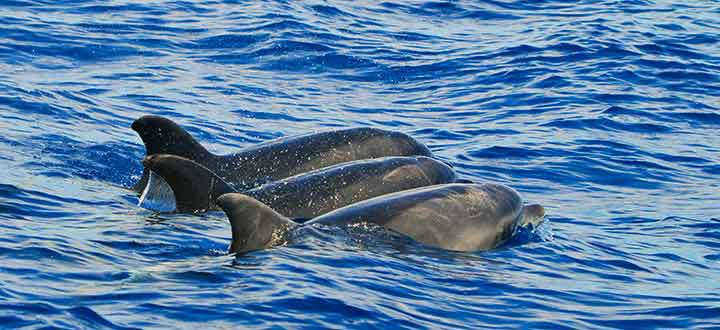 in Tenerife there are pods of both oceanic and costal ecotypes of Bottlenose dolphins
