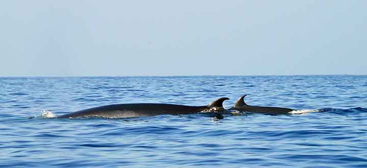 information on the Brydes whales we see on Tenerife whale watching tours