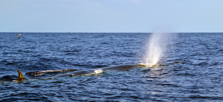 the most commonly whale species in Tenerife is the Bryde's whale