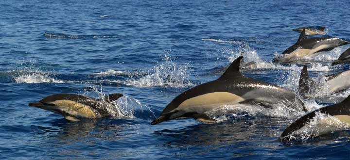 Information on the Common dolphin seen along Costa Adeje in Tenerife, Canary Islands.