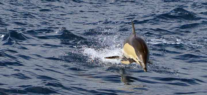 what's it like when we see Common dolphins in Tenerife