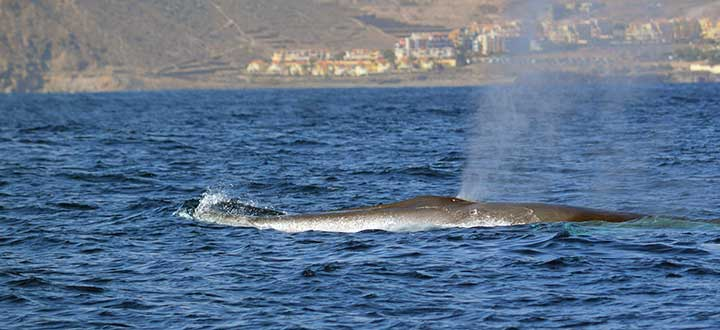 Information on the Fin whales we see on our Tenerife whale and dolphin watching eco-adventures in Tenerife.