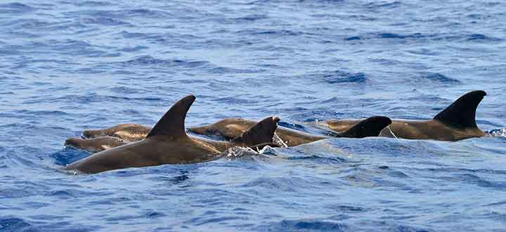 Rough toothed dolphins are infrequently seen along Costa Adeje Tenerife