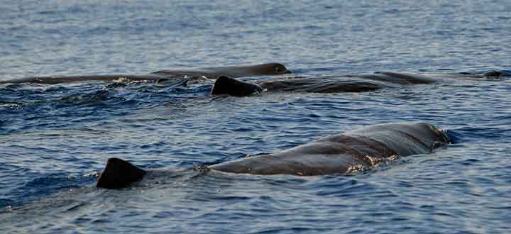 pod of Sperm whales resting on the surface in Tenerife